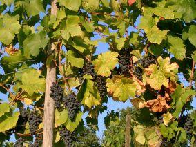 800px-Grape-vine